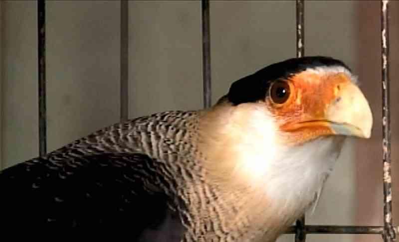 Carcará passa por procedimento em Uberaba (MG) e é a primeira ave da espécie no Brasil a receber prótese de bico