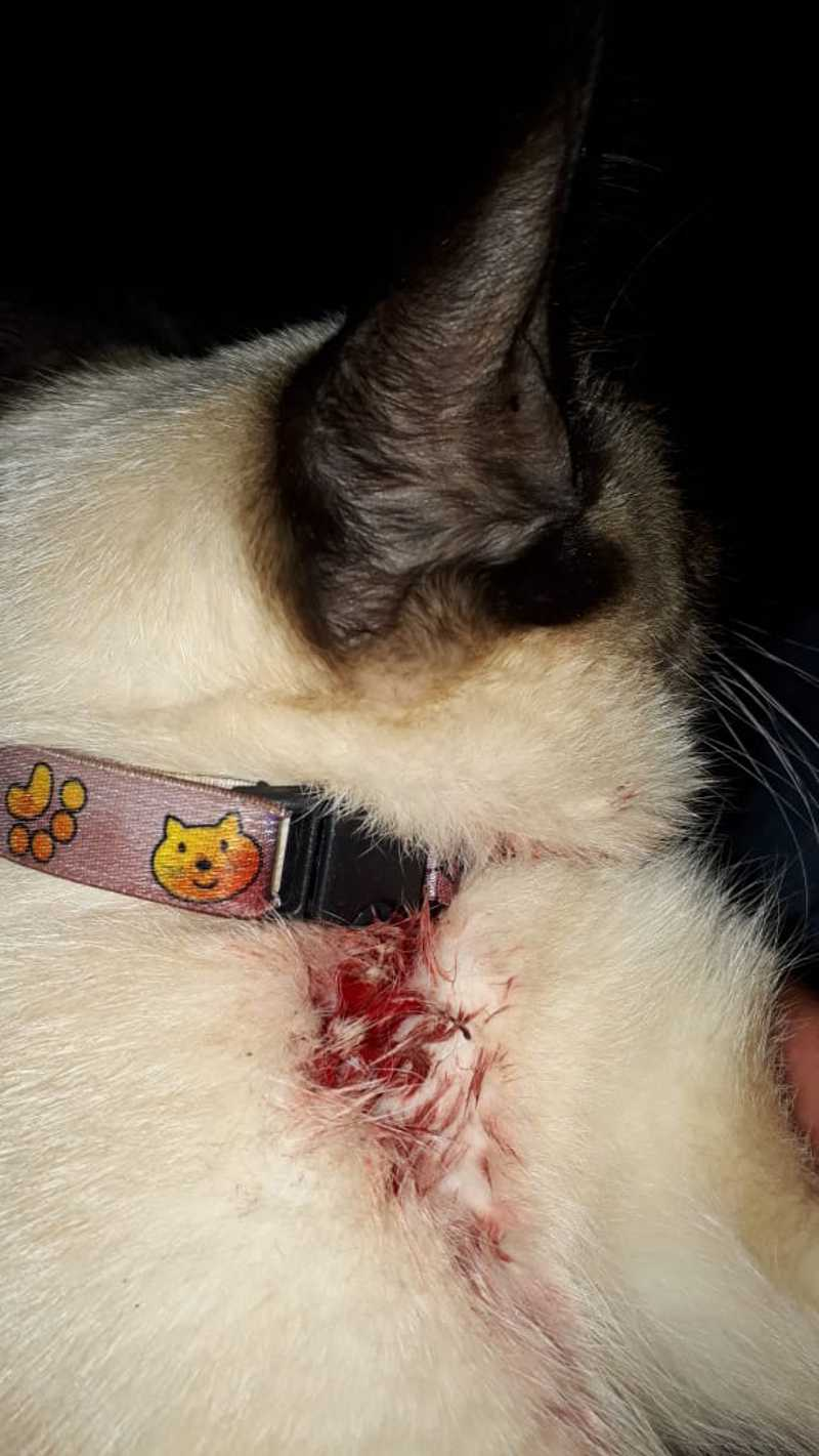 Gato fica ferido após ser atingido por espingarda de chumbinho no Nova Lima, em Campo Grande, MS