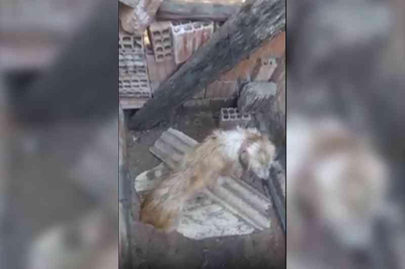 VÍDEO: vizinhos flagram cachorro preso em corrente curta sem água ou comida em Aquidauana, MS
