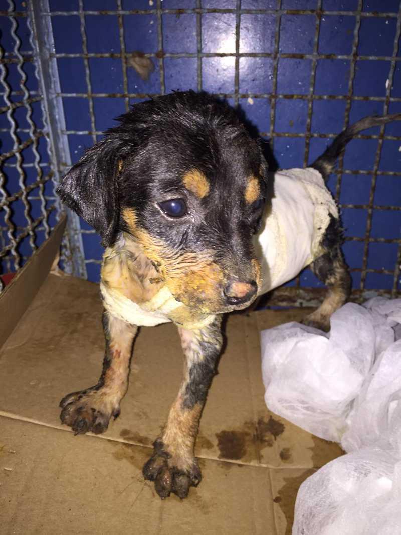 Por amor, veterinária adota cachorra que foi jogada ao fogo com apenas 40 dias