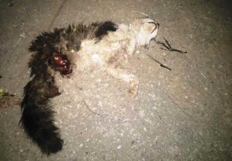 Gato teve pata amputada (Foto: Patos Online)
