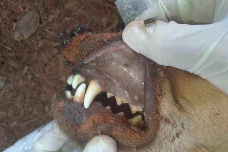 Cão morre após ser resgatado com o corpo consumido por larvas em Paranavaí, PR