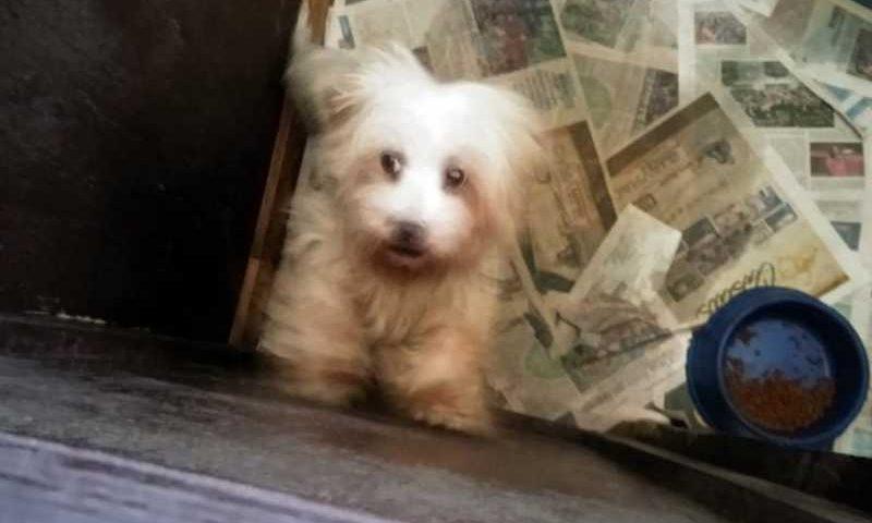 Ao todo, foram resgatados 36 cães das raças yorkshire e lhasa apso. Foto: Divulgação/SMCS
