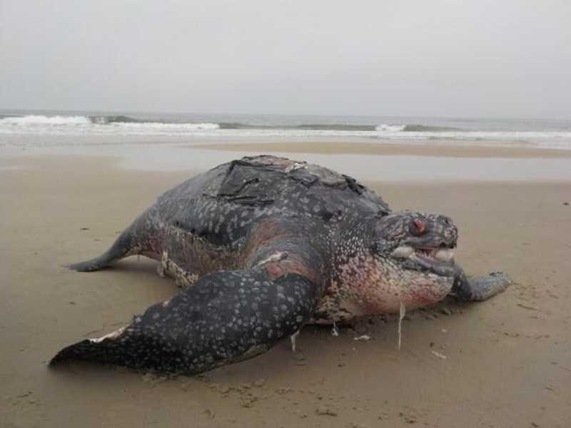 Tartaruga-de-couro é encontrada morta em praia de Pontal do Paraná