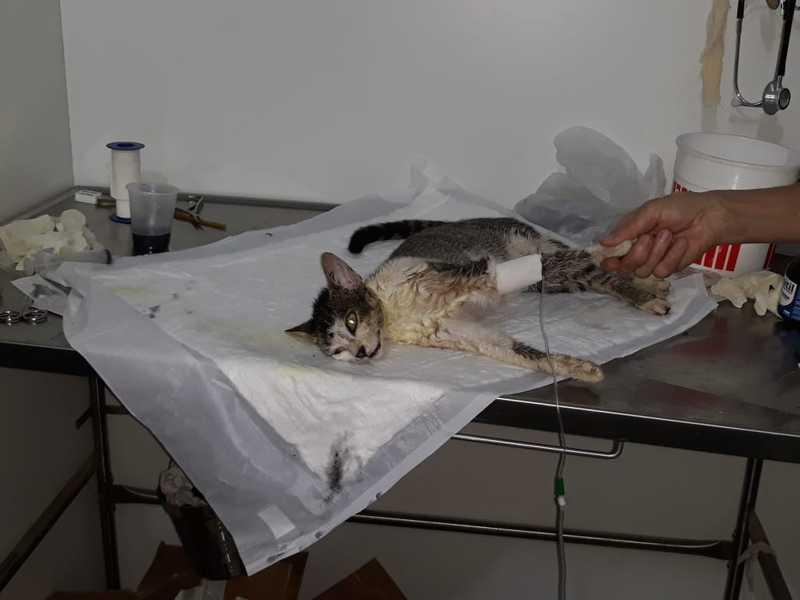 Gatinha resgatada com suspeita de envenenamento em Arraial do Cabo, RJ, está em estado estável — Foto: Projeto Animal de Arraial do Cabo / Divulgação