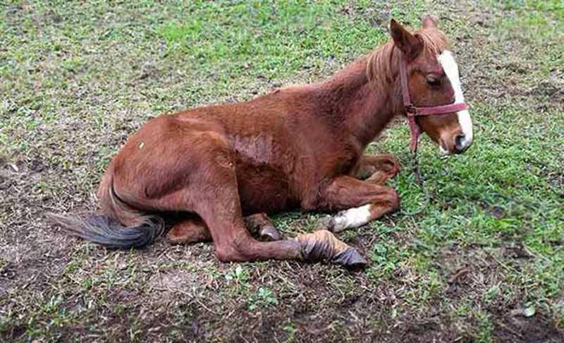 Proteção Animal de Caxias do Sul (RS) resgata potro em situação de maus-tratos