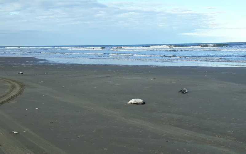 Dezenas de pinguins são encontrados mortos em praia do litoral sul do RS