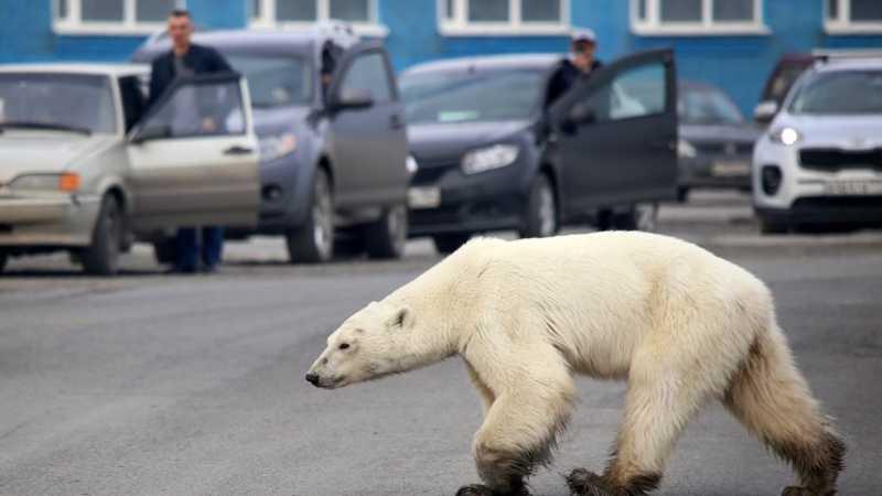Autoridades locais estao em discussões sobre como apanhar o animal e devolvê-lo ao seu habitat AFP/Getty Images