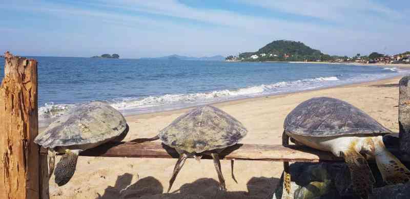 Três tartarugas são encontradas mortas em praia de Barra Velha, SC