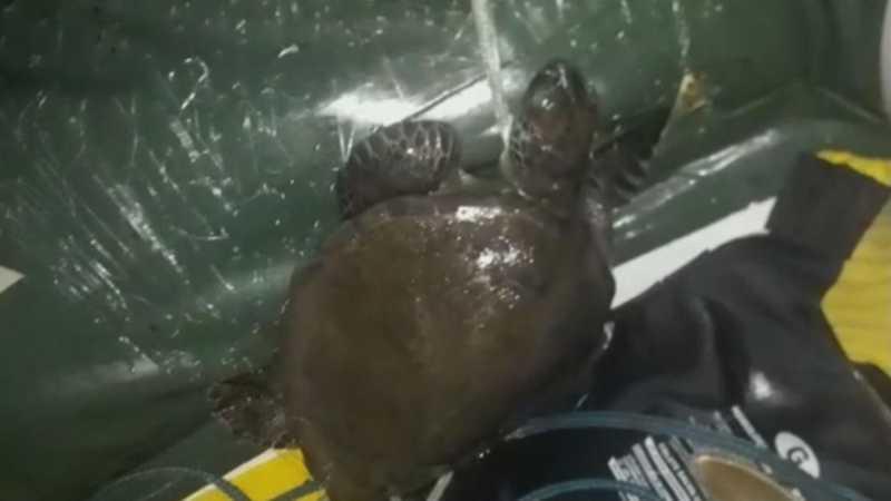 Mais de cem tartarugas marinhas foram encontradas mortas desde abril no litoral norte de SC