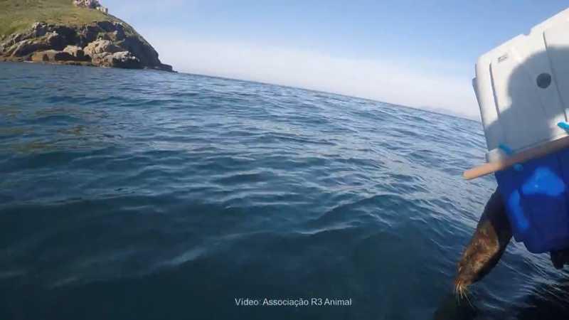 Após reabilitação, lobo-marinho é devolvido à natureza na Ilha do Xavier, em Florianópolis; VÍDEO