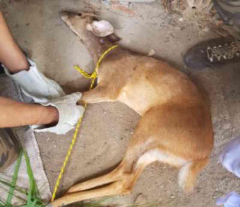 Veado-catingueiro é vítima de caça no Agreste de Sergipe