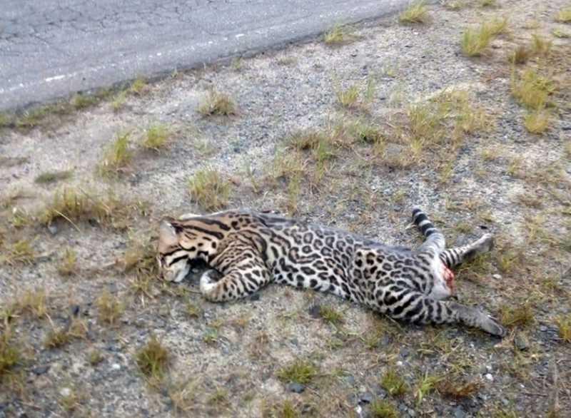 Jaguatirica é atropelada e morre em estrada no interior de SP