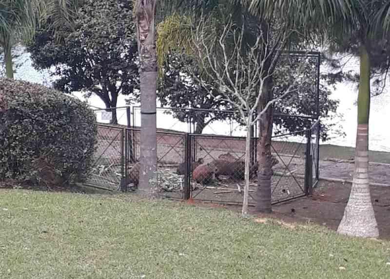 Sobe para 30 o número de capivaras abatidas em condomínio de Itatiba (SP), diz síndico