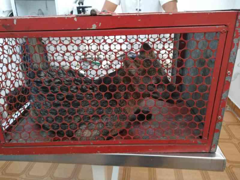 Cachorro do mato é encontrado em estacionamento de restaurante de Mogi das Cruzes, SP