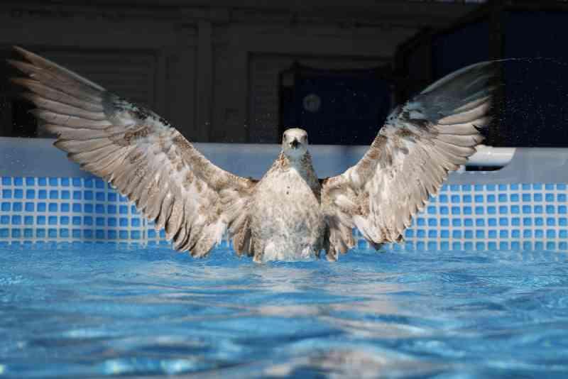 Após ter pata amputada, gaivota utiliza 'bota' para curar ferimentos em SP