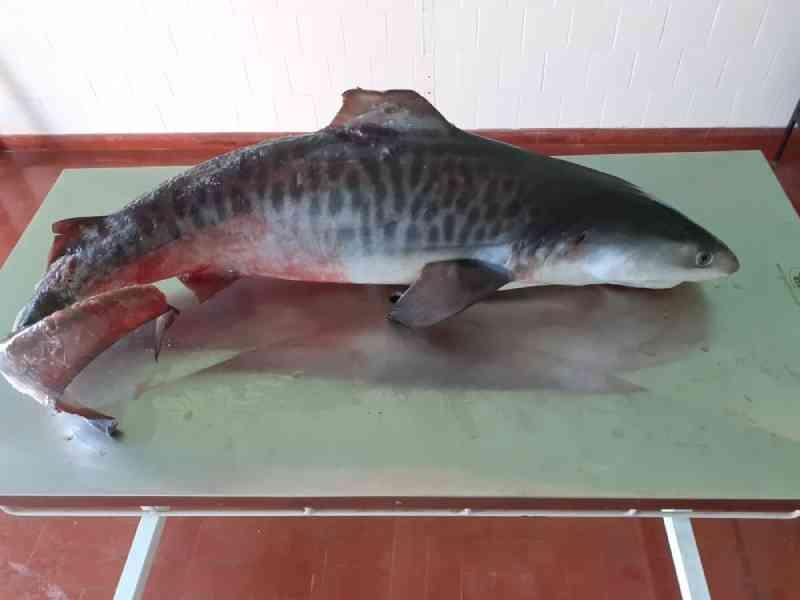 Tubarão-tigre morre após ficar preso em rede de pesca no litoral de SP