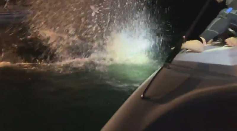 Baleia-jubarte é resgatada após ficar presa em cerco de pesca em São Sebastião, SP