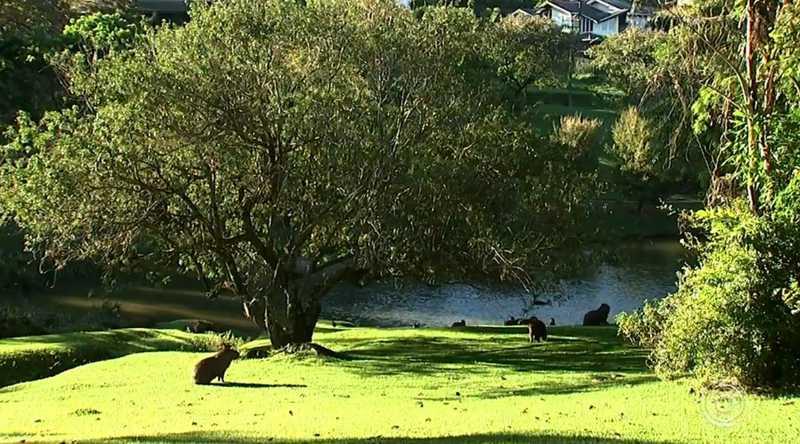Secretaria de Meio Ambiente autoriza abate de 40 capivaras de condomínio e gera polêmica em Itatiba, SP