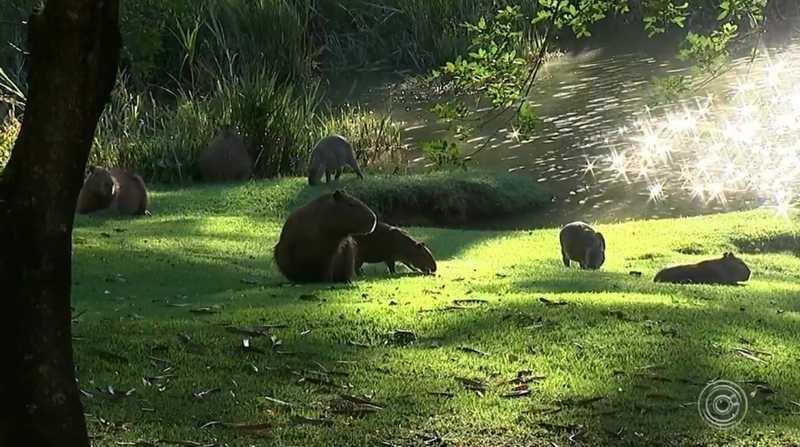 Secretaria Estadual do Meio Ambiente autorizou o abate de 40 capivaras em condomínio de Itatiba — Foto: Reprodução/TV TEM