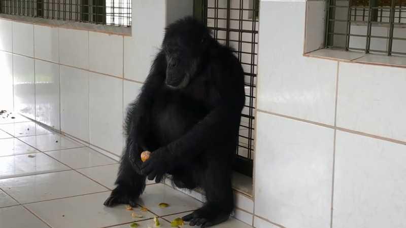 Black começou a interagir com outros primatas — Foto: Reprodução/GAP