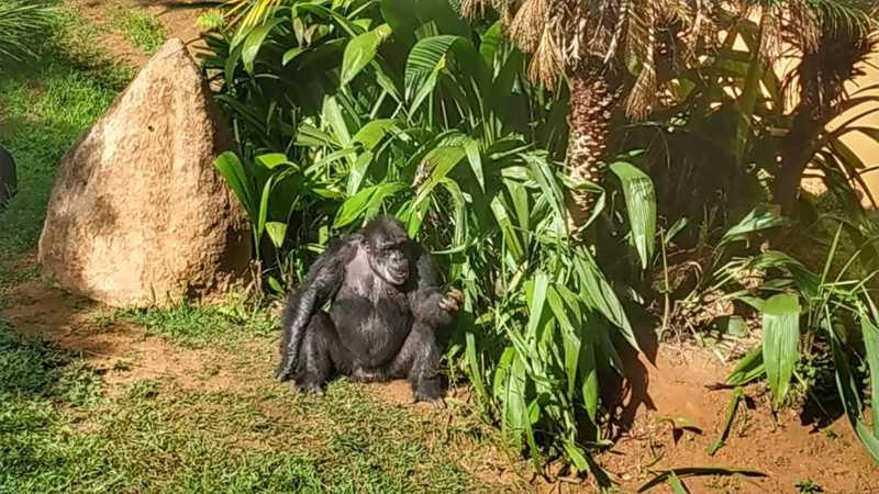 Black foi transferido do zoo de Sorocaba para um santuário de primatas — Foto: Anderson Cerejo/TV TEM