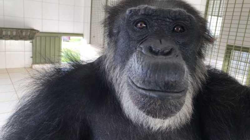 Black, nosso irmão chimpanzé