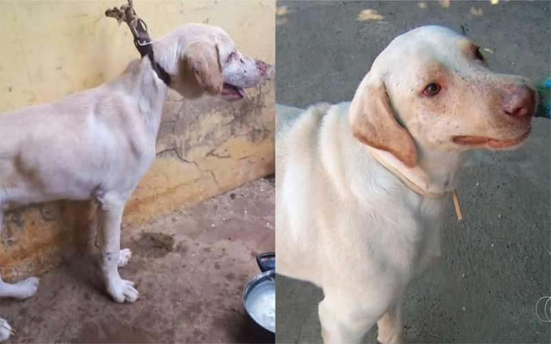 Cachorro resgatado após ficar semanas amarrado em janela se recupera e ganha novo lar