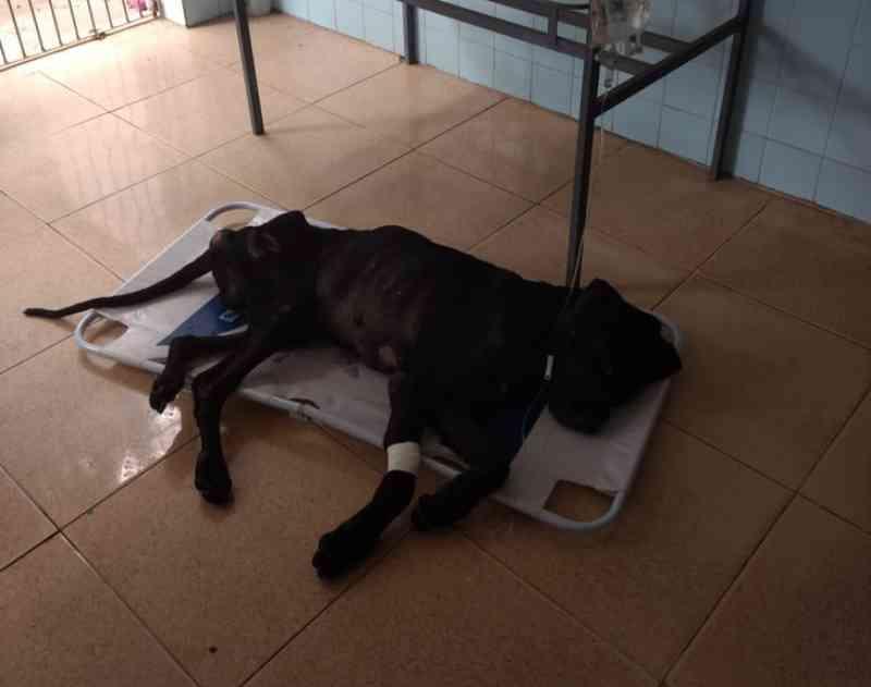 Cão abandonado por criador em residência é diagnosticado com leishmaniose, em Penedo, AL