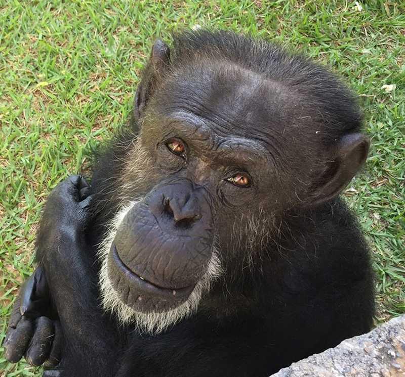 A chimpanzé Cecilia vive em Sorocaba no primeiro santuário que esperou por Sandra (Projeto GAP).