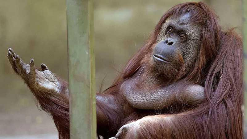 A orangotanga Sandra tem 33 anos e continua no ex-zoológico de Buenos Aires.