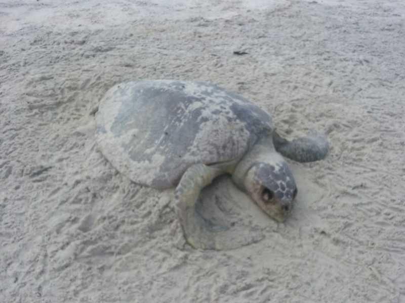 Tartaruga oliva é encontrada morta em praia de litoral do sul da Bahia — Foto: Projeto A-Mar