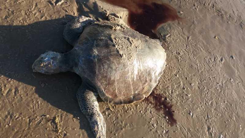 Tartaruga foi encontrada morta na praia do Sargi, em Itacaré — Foto: Divulgação/Projeto A-mar