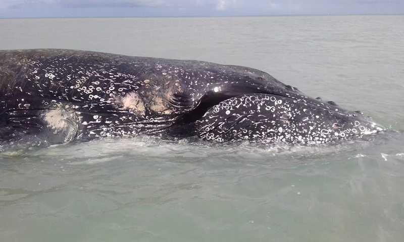 Baleia jubarte tinha cerca de 9,2 metros — Foto: Milton Marcondes/Arquivo pessoal