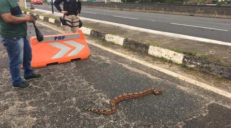 Jiboia é resgatada ao tentar atravessar pista na BR-324, em Simões Filho — Foto: Divulgação/PRF