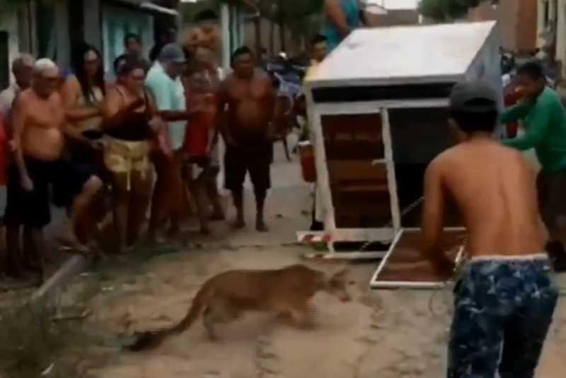 Onça amarrada em árvore por moradores salta e tenta fugir ao ser resgatada em Reriutaba, no Ceará; veja vídeo