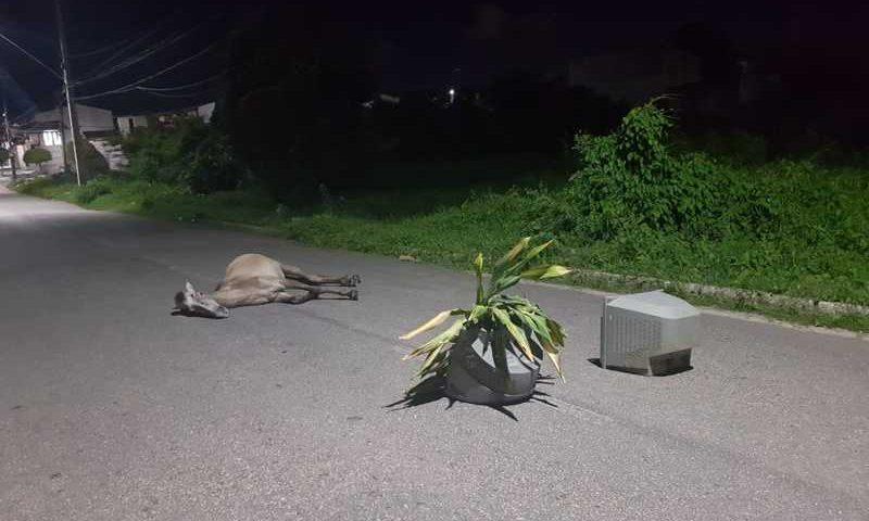 Animal ficou agonizando em avenida após ser atingido por um veículo. — Foto: Rafaela Duarte/ Sistema Verdes Mares