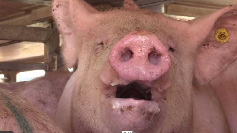 2.100 porcos morrem sufocados devido à falha no sistema de ventilação das instalações