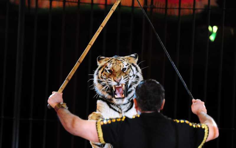 Treinador de tigre do circo italiano Maximus se apresenta em Budapeste — Foto: Attila Kisbenedek/AFP
