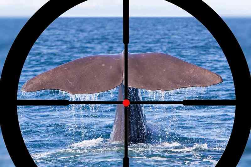 Islândia: pausa na caça ás baleias depois de 17 anos