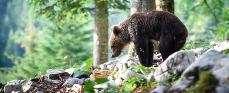 Ordem de captura contra urso na Itália gera polêmica