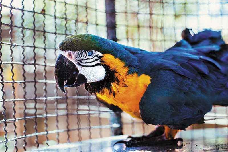 Arara-azul, ameaçada de extinção: na ONG Asas e Amigos a ave encontrou um porto seguro contra o contrabando (foto: ONG Asas e Amigos/Divulgação)