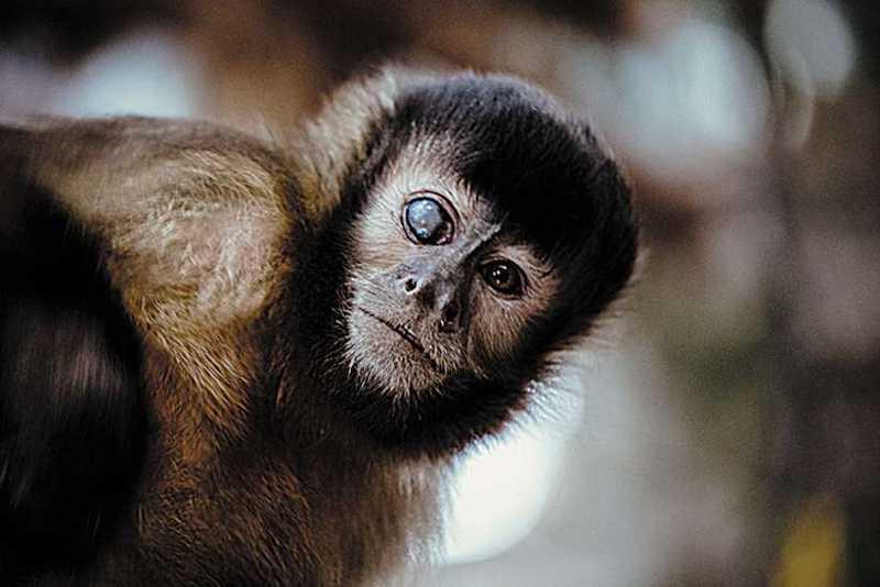 Vítima de maus-tratos, o macaco-prego é esperto como ele só: mesmo cego de um olho, adora fazer brincadeiras em seu viveiro (foto: ONG Asas e Amigos/Divulgação)