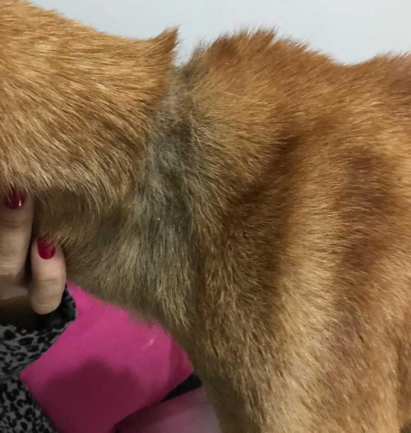 Marca no pescoço mostra que o animal estava acorrentado em algum lugar em Uberlândia — Foto: SOS Pet/Divulgação