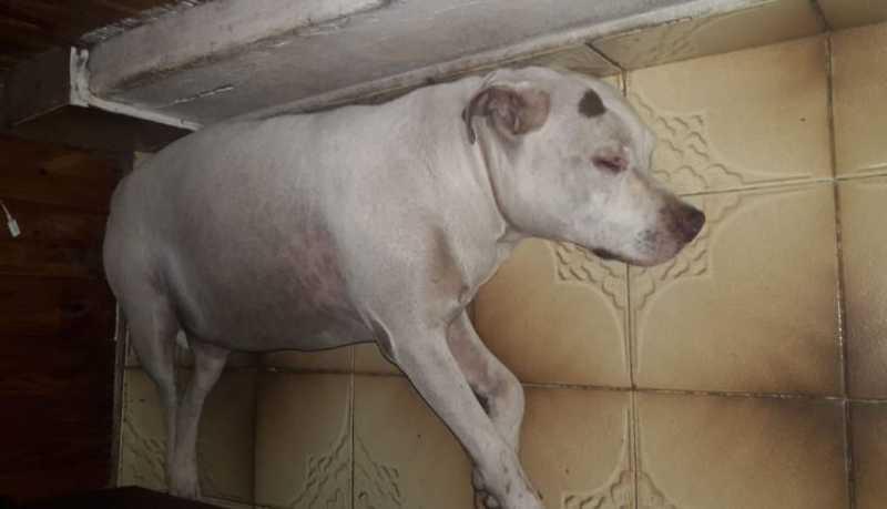 Pit Bull está em casa e foi medicado pela dona (Foto: Arquivo Pessoal)
