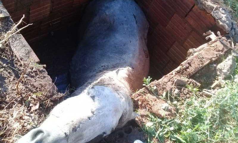 Égua prenhe caiu em fossa e foi resgatada pelos bombeiros depois de 2 horas presa no buraco em Cáceres — Foto: Cáceres Notícias