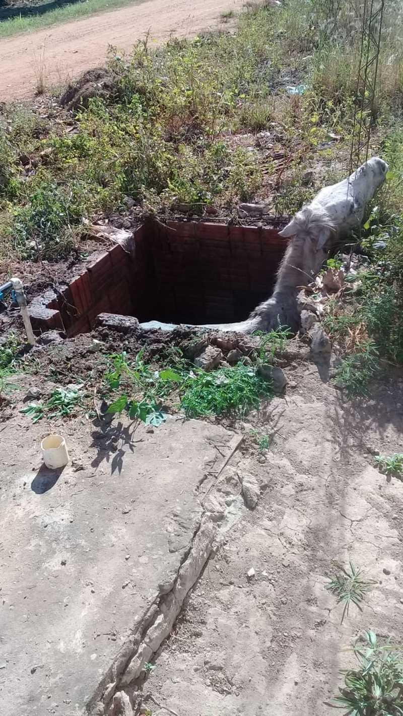 Égua, prenhe de nove meses, foi resgatada pelo Corpo de Bombeiros em Cáceres — Foto: Cáceres Notícias