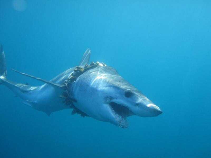 Mais de mil tubarões e arraias ficaram presos em plástico