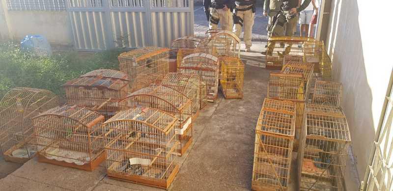 Um total de 56 pássaros foram apreendidos em uma operação conjunta em Petrolândia — Foto: PRF/Divulgação