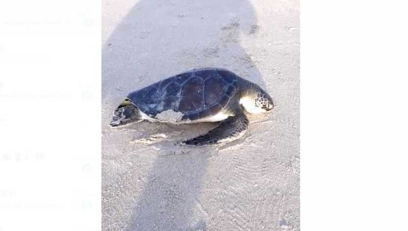 Tartaruga-verde é encontrada morta em praia do Balneário Flórida, no litoral do Paraná — Foto: Lourival Marques Filho/Arquivo pessoal